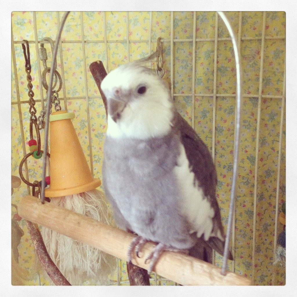 This is Vito, my parent's bird that I babysit every so often, He is 20 years old and when I lived home we were always together :) He's noisy as hell but I love him anyway!