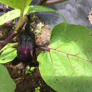Mini little itty bitty eggplant