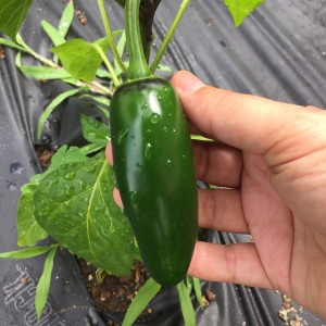My hand for scale again, that's a good size Jalapeno